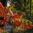 Colouring of the leaves in autumn, leaf detail, backlit shot — Stock Photo