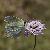 Gonepteryx cleopatra, Cleopatra, Cleopatra butterfly from Southern Europe — Stock Photo