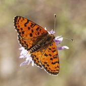 Melitaea didyma, Spotted fritillary or Red-band fritillary, male butterfly from Southern Europe — Stock Photo