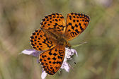 Brenthis daphne, Marbled Fritillary from Southern Europe — Stock Photo