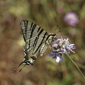 Iphiclides podalirius, Scarce swallowtail, Sail swallowtail, Pear-tree swallowtail from Southern Europe — Stock Photo