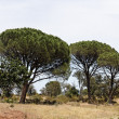 Stock Photo: Pine forest (Pinus pinea) with Massif des Maures, Provence, Southern France (Stone pine, Italistone pine, Umbrellpine)