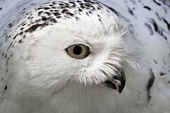 Snowy Owl (Bubo scandiacus) Arctic Owl, Great White Owl, Icelandic Snow Owl, Harfang from Northern Europe — Stock Photo