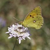 Sombre opacifié jaune papillon (colias crocea) commune opacifié jaune, le jaune panthère d'europe — Photo