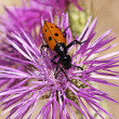 Mylabris species, Blister beetle, Oil beetle — Stock Photo
