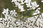 Green grasshopper on a wild flower in France, Europe — Stock Photo