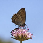 Satyrium esculi, False Ilex Hairstreak from France, Southern Europe — Stock Photo