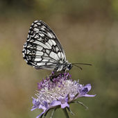 Melanargia galathea, Marbled White butterfly — Stock Photo
