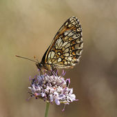 Melitaea athalia, Heath fritillary, european butterfly from France — Stock Photo
