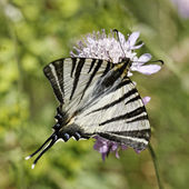 Scarce swallowtail, Sail swallowtail, Pear-tree swallowtail, Iphiclides podalirius butterfly from Western Europe — Stock Photo