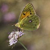 Colias crocea, Dark Clouded Yellow, Common Clouded Yellow, The Clouded Yellow butterfly from Europe — Stock Photo