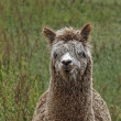 Alpaca (Vicugna pacos), Paco on a meadow in Germany, Europe — Stock Photo
