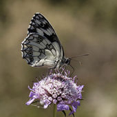 Marbled White butterfly, Melanargia galathea from Western Europe — Stock Photo