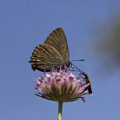 Satyrium esculi, False Ilex Hairstreak butterfly from France, Southern Europe — Stock Photo