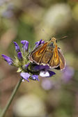 Thymelicus acteon, Lulworth Skipper from France, Western Europe — Stock Photo