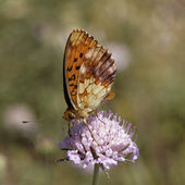 Brenthis daphne, Marbled Fritillary from Southern France, Europe — Stock Photo