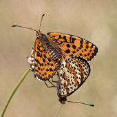 Melitaea didyma, Spotted Fritillary or Red-band Fritillary (Copula) — Stock Photo