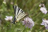 Iphiclides podalirius, Scarce swallowtail, Sail swallowtail, Pear-tree swallowtail — Stock Photo
