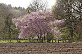 Japanese cherry tree in spring, Lower Saxony, Germany, Europe — Stock Photo