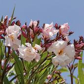 Nerium oleander, Oleander tree — Stock Photo