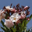 Nerium oleander, Oleander tree in spring, Southern France, Europe — Stock Photo