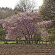Japanese cherry tree in spring, Lower Saxony, Germany, Europe — Stock Photo #33365925