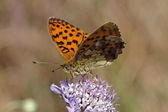 Brenthis daphne, Marbled Fritillary — Stock Photo