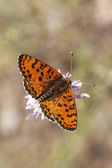 Melitaea didyma, Spotted fritillary or Red-band fritillary (male) — Stock Photo