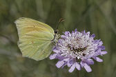 Gonepteryx cleopatra, Cleopatra butterfly (female) from Southern Europe — Stock Photo