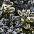 Frost-covered leaves in November — Stock Photo