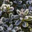 Frost-covered leaves in November — Stock fotografie