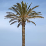 Date palm (Phoenix canariensis) Canary Islands Date Palm near San Priamo, Sardinia, Italy, Europe — Stock Photo