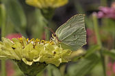Gonepteryx rhamni, Common Brimstone, Brimstone in august, Germany, Europe — Stock Photo