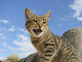 Spitting domestic cat (housecat) on a wall, (Felis silvestris catus) — Stock Photo