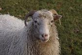 Sheep on a meadow in Germany, Europe — Foto de Stock