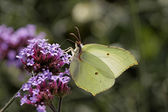 Gonepteryx rhamni, Common Brimstone, Brimstone on Purpletop Vervain, Verbena in Germany — Stock Photo