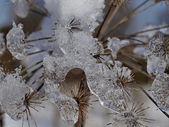 Umbellifer in winter, Germany — Stock Photo