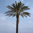 Date palm, Canary Islands Date Palm, Phoenix canariensis from Sardinia, Italy, Europe — Stock Photo