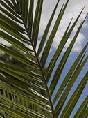 Date palm, Canary Islands Date Palm (Phoenix canariensis) — Stock Photo