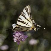 Iphiclides podalirius, Scarce swallowtail, Sail swallowtail, Pear-tree swallowtail from Southern France, Europe — Stock Photo