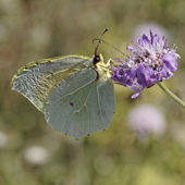 Gonepteryx cleopatra, Cleopatra butterfly from France, Southern Europe — Stock Photo