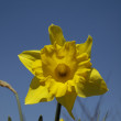 Narcissus hybrid, daffodil — Stock Photo