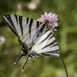 Iphiclides podalirius, Scarce swallowtail, Sail swallowtail, Pear-tree swallowtail from France, Southern Europe — Стоковая фотография