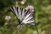 Iphiclides podalirius, Scarce swallowtail, Sail swallowtail, Pear-tree swallowtail from France, Southern Europe — Stock Photo