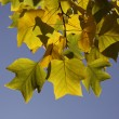 Tulip tree (Liriodendron tulipifera) American tulip tree, Tulip poplar, Yellow poplar in autumn, Germany — Stock Photo