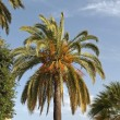 Phoenix canariensis - Date palm, Canary Islands Date Palm from Sardinia, Europe — Stock Photo