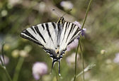 Iphiclides podalirius, Scarce swallowtail, Sail swallowtail, Pear-tree swallowtail — Stock Photo