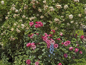 Garden with rosebush and Larkspur in Germany — Stock Photo