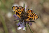 Melitaea didyma, Spotted Fritillary or Red-band Fritillary butterfly from Western Europe — Stock Photo