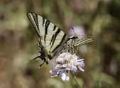 Iphiclides podalirius, Scarce swallowtail, Sail swallowtail, Pear-tree swallowtail, butterfly from Western Europe — Stock Photo